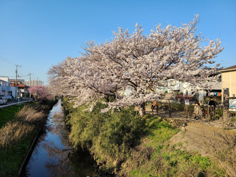 Galaxy S20 5G 作例 等倍 桜