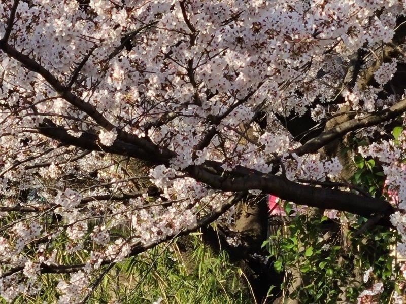 Galaxy S20 5G 作例 10倍ズーム 桜