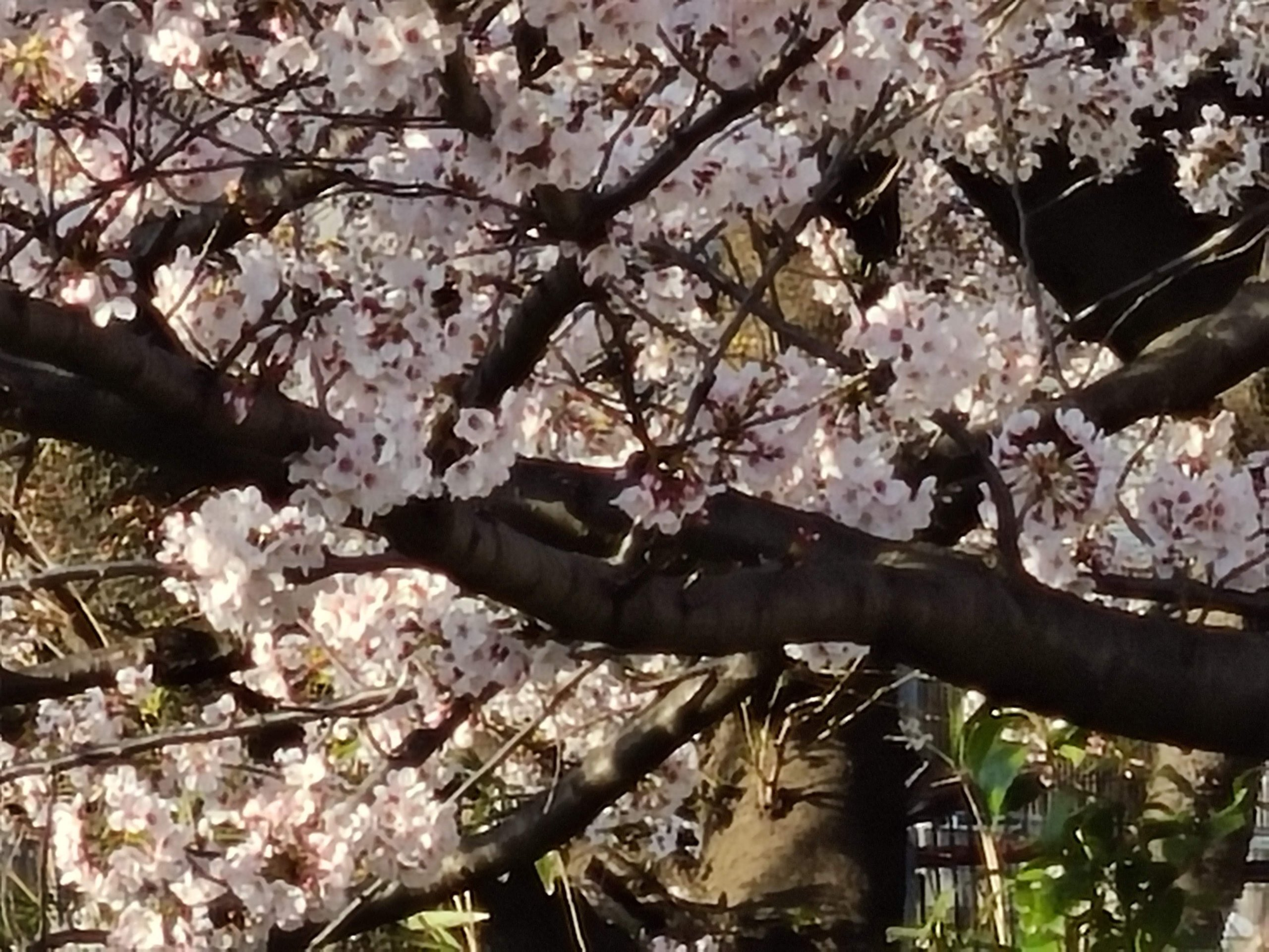 Galaxy S20 5G 作例 20倍ズーム 桜