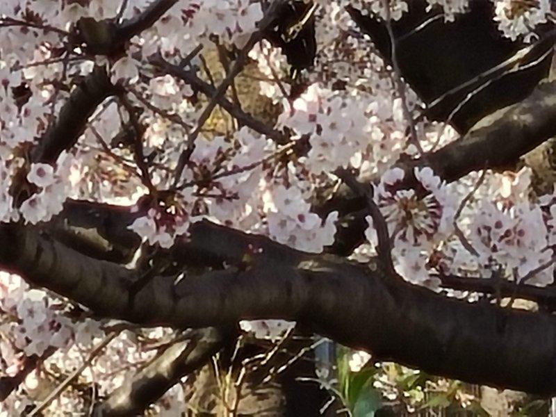 Galaxy S20 5G 作例 30倍ズーム 桜