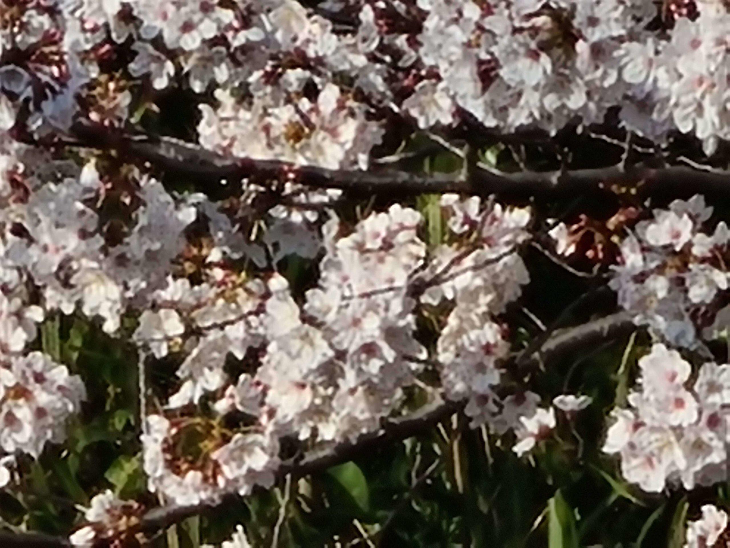 Galaxy S20+ 作例 桜
