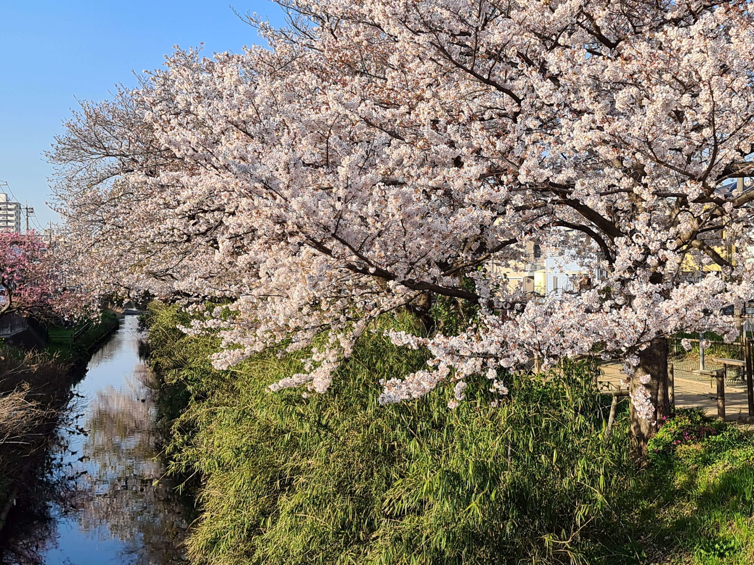 Galaxy S20 Ultra 作例 桜